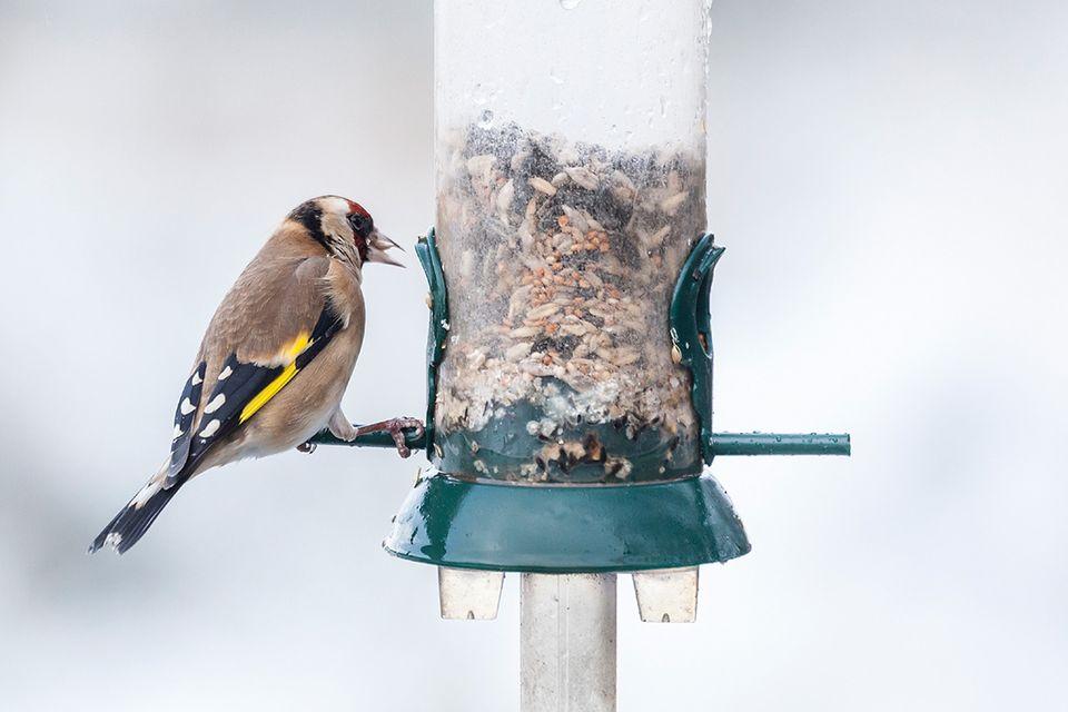 Gartenvögel: In milden Wintern ist der Stieglitz, Vogel des Jahres 2016, auch bei uns in Deutschland zu beobachten