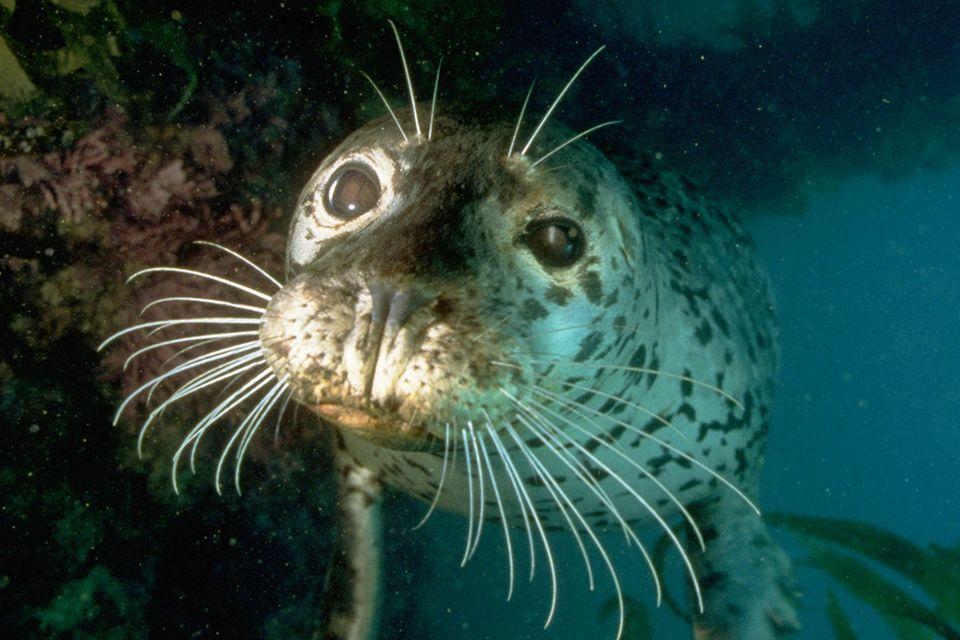 Serie: Meister der Sinne: Seehund: Feingefühl bis in die Bartspitzen