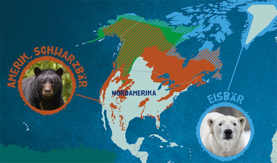 Tierlexikon: Schwarzbären leben in den Wäldern Nordamerikas