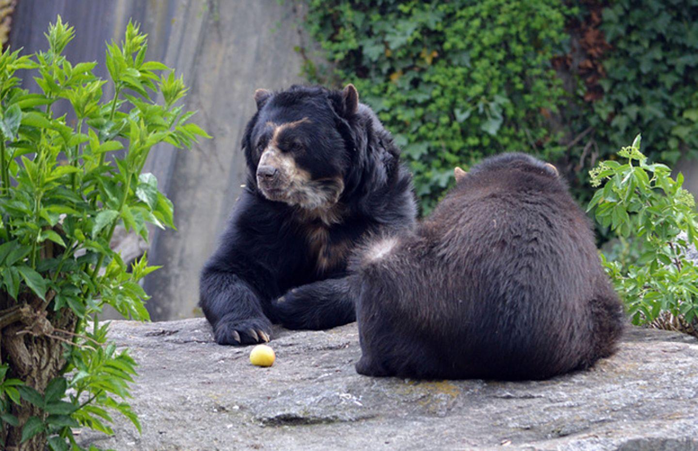 Tierlexikon: Brillenbären essen gern Obst und allerlei Grünzeug