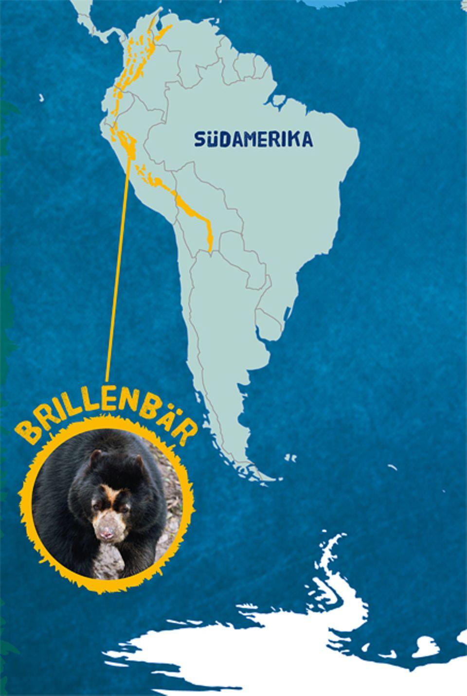 Tierlexikon: Der Brillenbär lebt in den Bergwäldern rund um die Andenkette in Südamerika