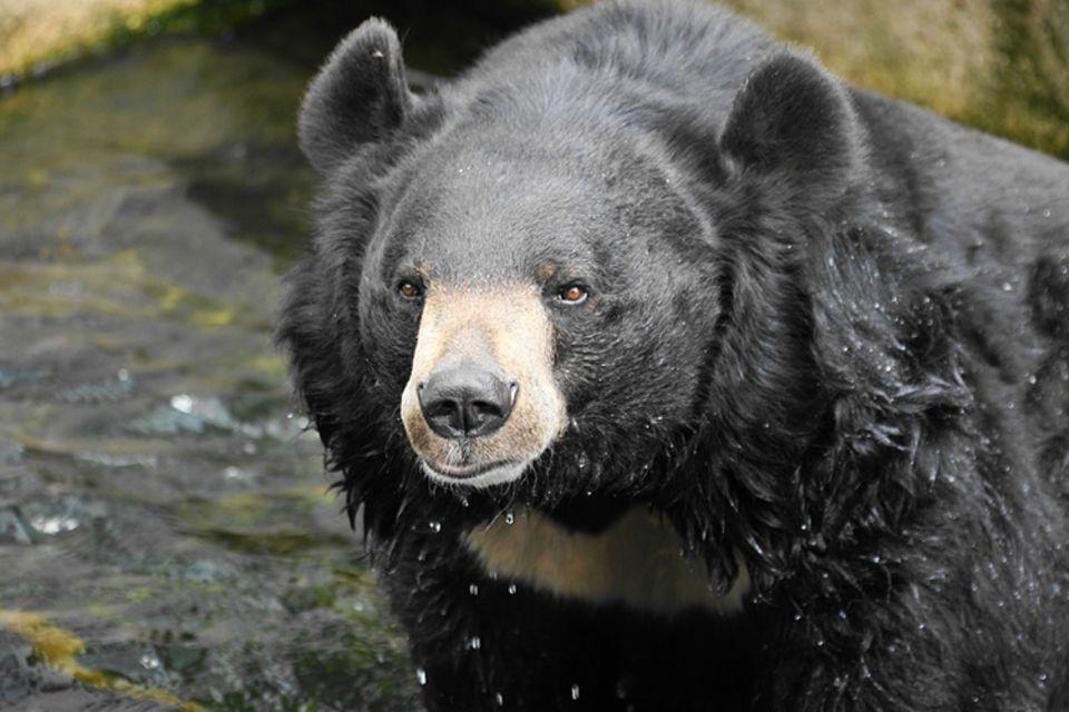Tierlexikon: Kragenbären zählen zu den gefährdeten Arten