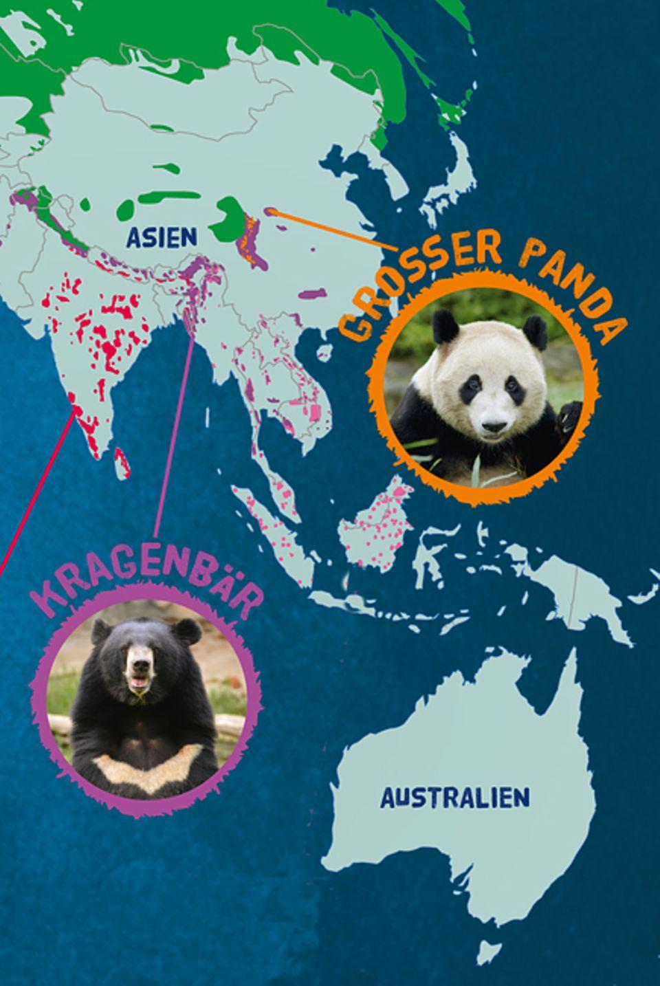 Tierlexikon: Der Kragenbär lebt hauptsächlich in Süd- und Ostasien