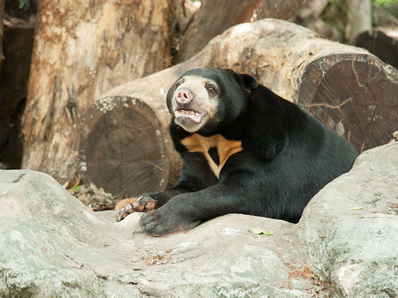 Tierlexikon: Malaienbären essen gern Obst und allerlei Grünzeug