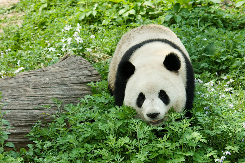 Tierlexikon: Dieser Bär gehört sicher zu den süßesten Bären: Der große Panda