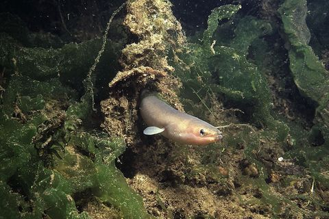 Europäischer Aal: Die beste Nase im Tierreich