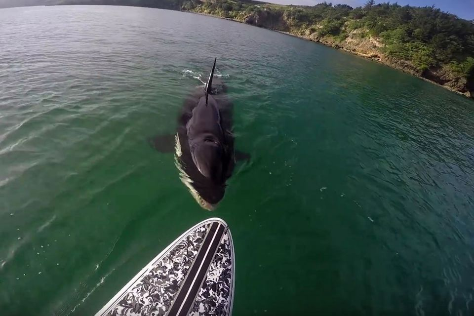 Neuseeland: Stand-Up-Paddler trifft auf Orca