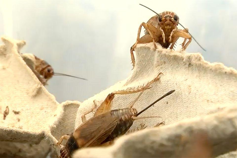 Auf der Insektenfarm Insagri im Süden Spaniens werden unter andere Grillen für den menschlichen Verzehr gezüchtet. Sie verleihen jedem Gericht einen nussigen Geschmack