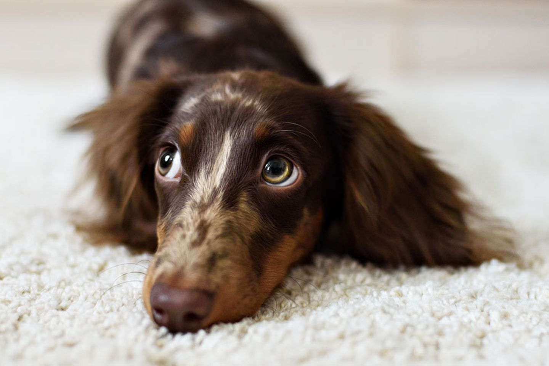 Hunde-Wissen: Hunde besitzen eine Fähigkeit, die selbst Menschenaffen weitgehend fehlt: menschliche Gesten zu deuten