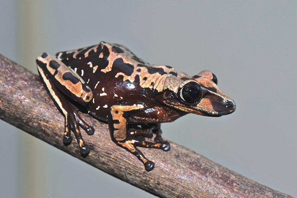 Brasilien: Dieser Frosch ist giftig. Richtig giftig!