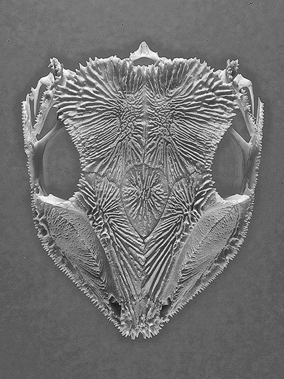 Brasilien: Der Schädel von Aparasphenodon brunoi ist übersät mit scharfen Giftstacheln