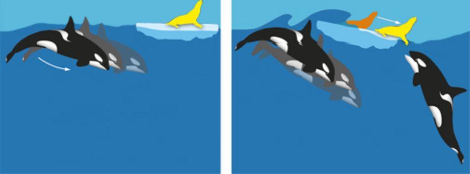 Im Team versuchen die Schweinswale, ihre Beute von der Eisscholle zu schubsen