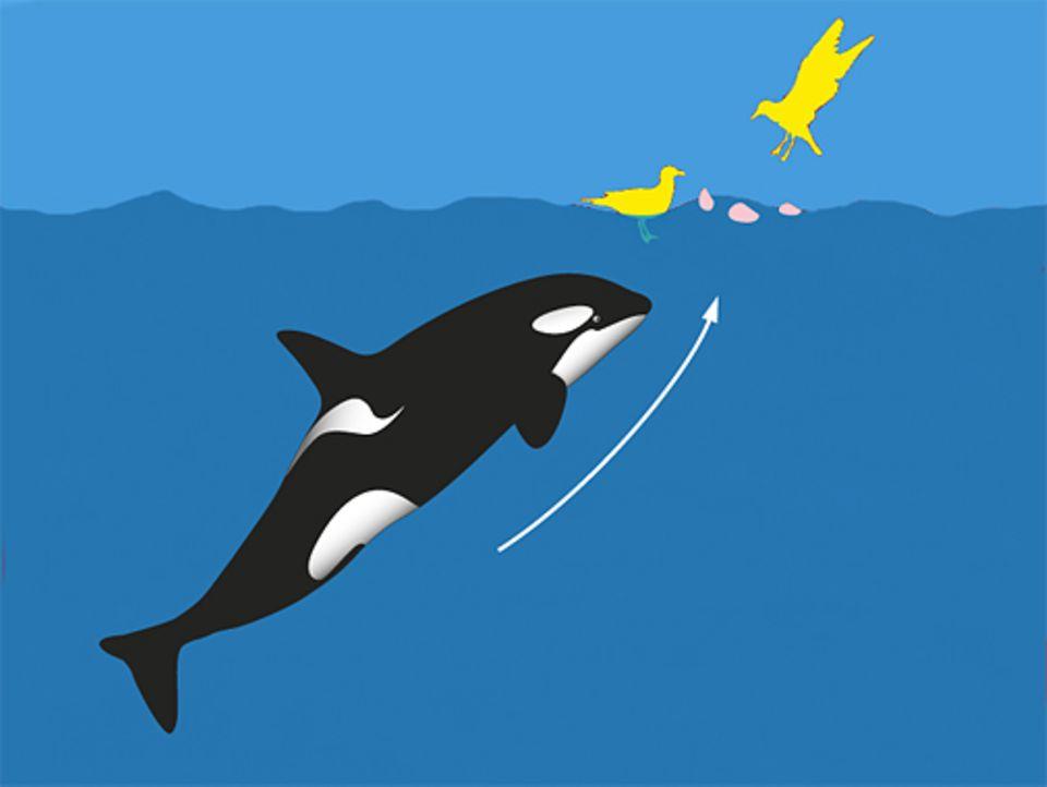 Der Schwertwal wartet ganz ruhig an der Wasseroberfläche