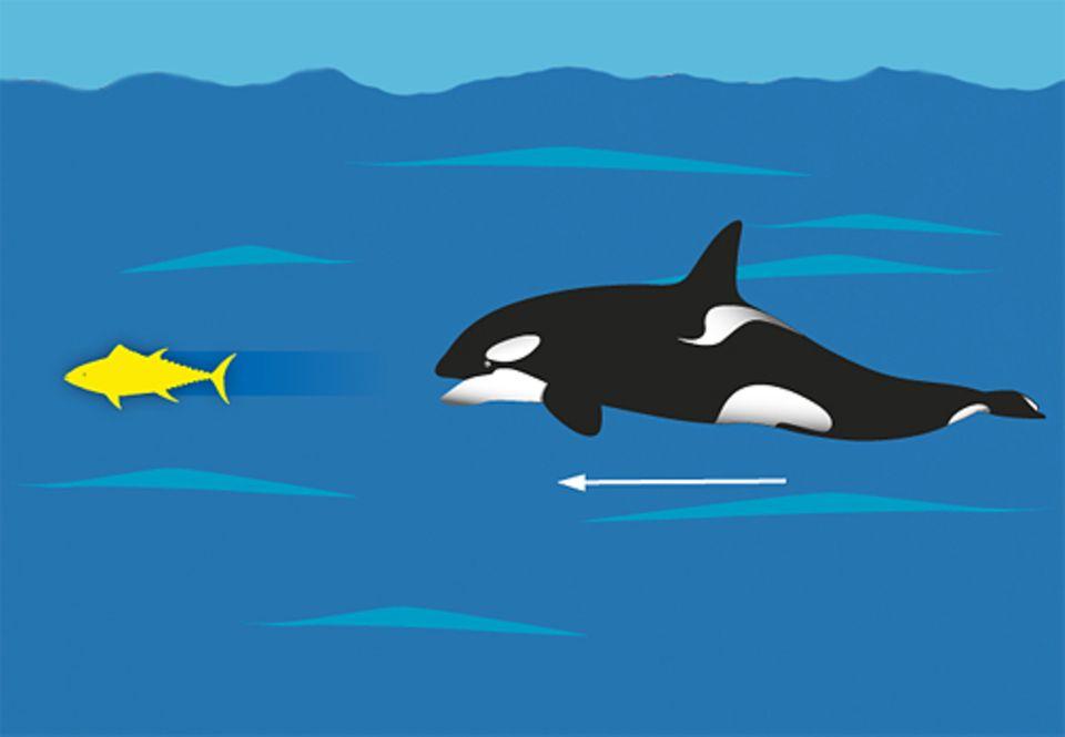 Ist ein Tier zu wendig, nutzt der Schwertwal seine große Ausdauer, um seine Beute zu ermüden