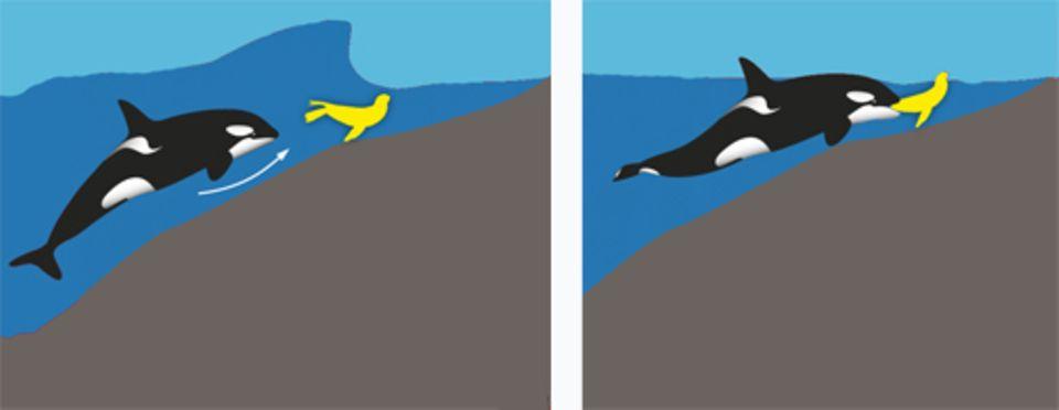 Für diesen nicht ganz ungefährlichen Jagd-Trick braucht ein Schwerwal viel Übung