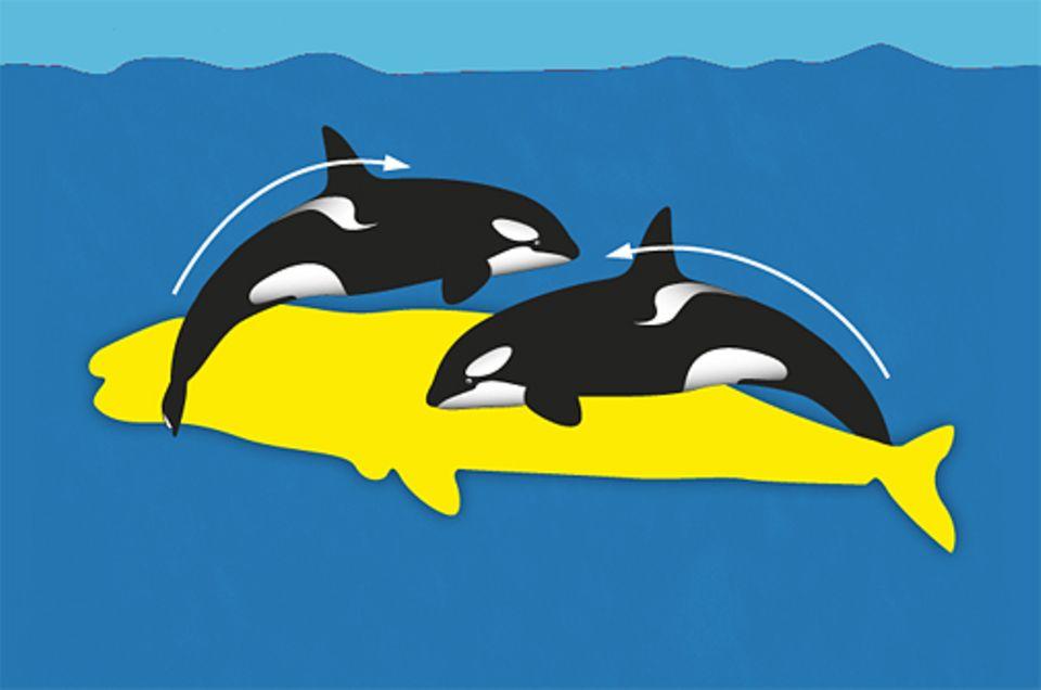 Im Team können Schwertwale sogar andere Walarten erlegen