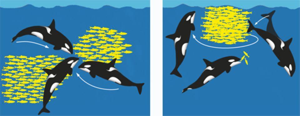 Die Schwertwale umzingeln ihre Beute und warten auf den richtigen Moment, um zuzuschlagen