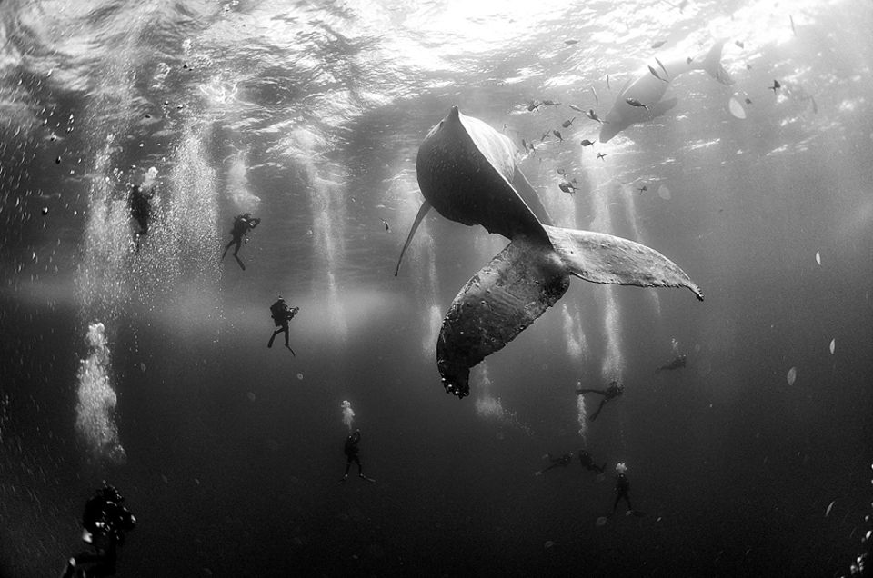 World Press Photo: Unter Beobachtung: Buckelwal-Weibchen mit ihrem Kalb