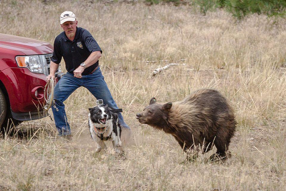 Eine Lektion für den Schwarzbären – Die Vertreibung aus der Zivilisation