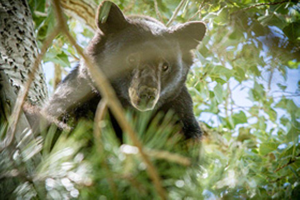 Schwarzbären haben Angst vor Menschen – Bei Gefahr flüchten sie auf einen Baum