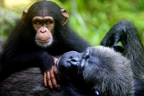 Tierrechte: Darf man Schimpansen einsperren?