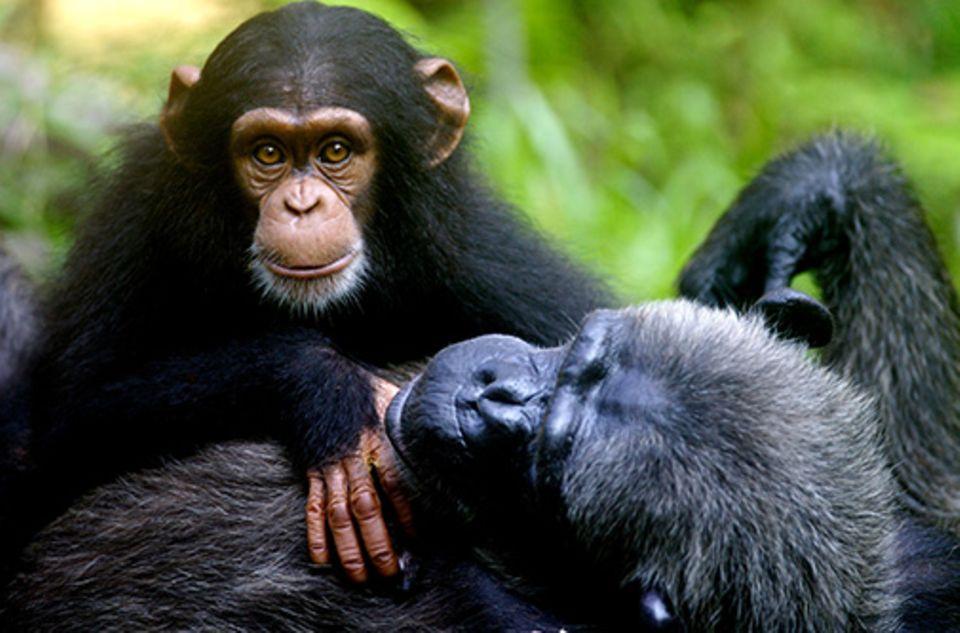 Tierrechte: Schimpansen stehen dem Menschen nicht nur genetisch sehr nahe. Sie besitzen, wie er, eine komplexe Persönlichkeit
