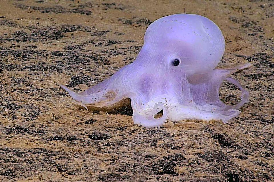 Hawaii: Forscher entdecken rätselhaften Geister-Oktopus
