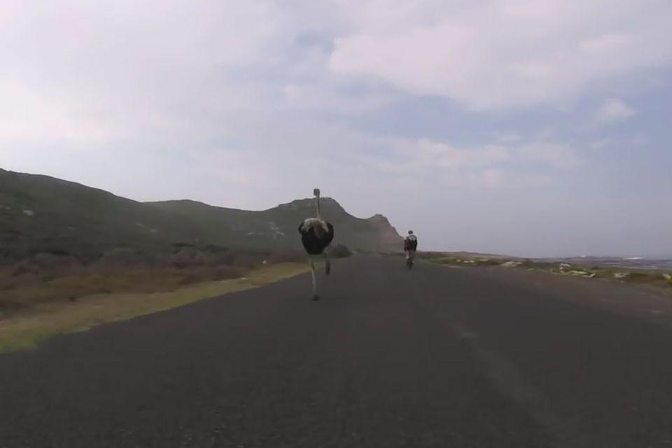 Video: Strauß misst sich mit Radrennfahrern