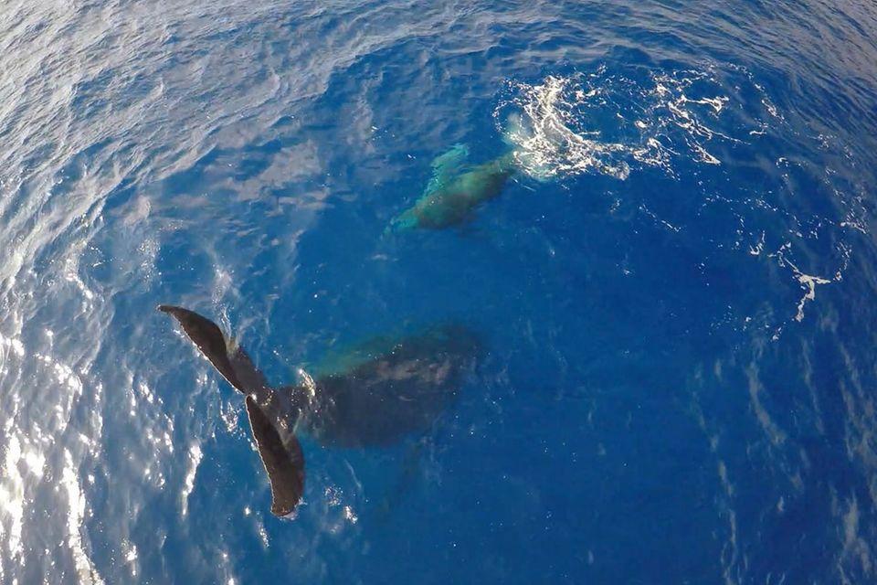 Hawaii: Video: Buckelwal beim Kopfstand gefilmt