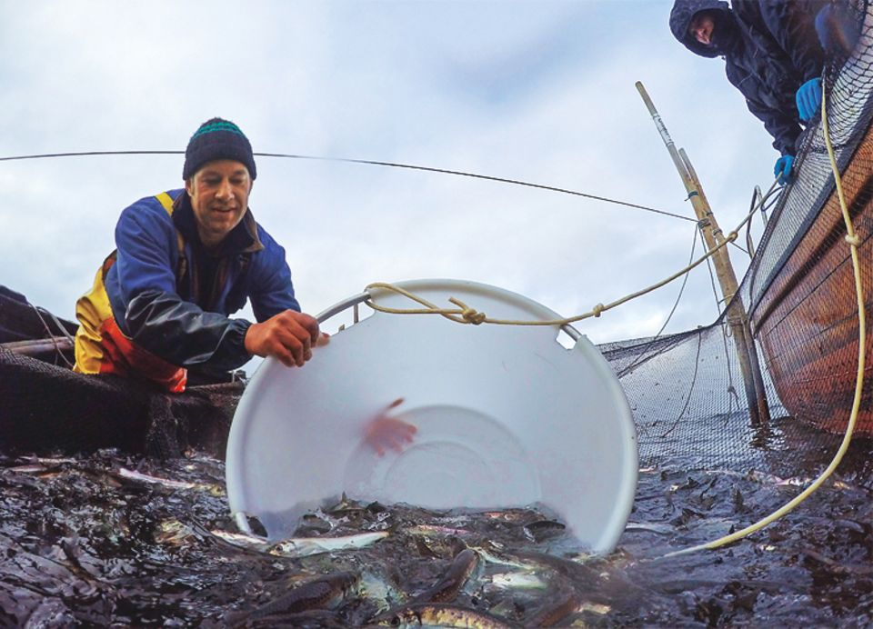 Fische: Vorsichtig taucht Ivo Nordt eine Wanne in die Reusenkammer. Ein paar Schuppen lassen die Heringe dabei trotzdem. Wie Glitterkonfetti schweben diese im Wasser, kleben auf Handrücken und Hosenbeinen, Schiffsplanken und Schuhsohlen