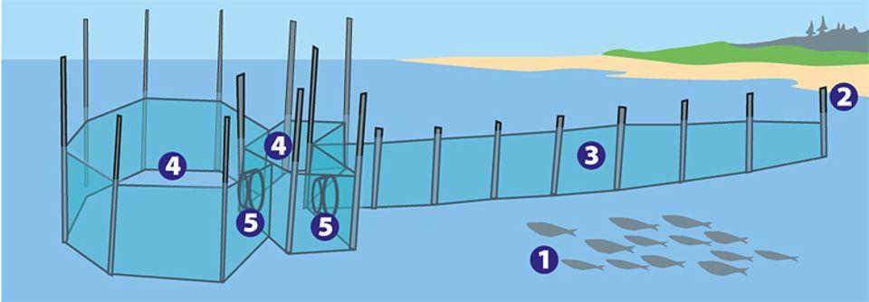 Fische: Grafik einer Reuse