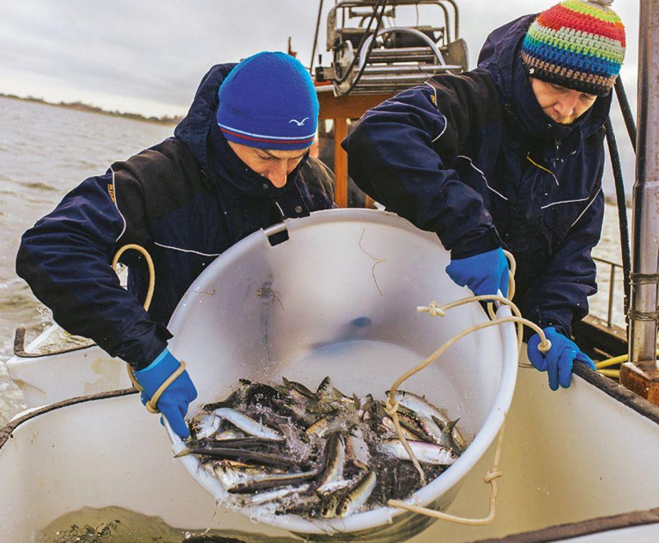Fische: Henning May und Alexander Dressel kippen die Heringe in einen der Tanks. Für das Ozeaneum fangen sie auch andere Tiere: In Norwegens Fjorden etwa tauchen sie nach Seeteufeln, Lippfischen, Seelachsen und Krebsen