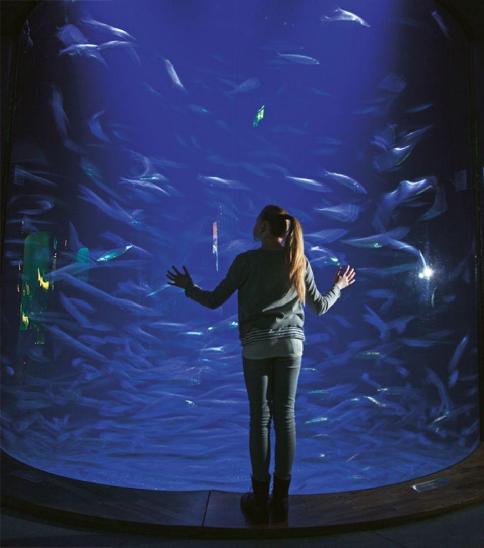 """Fische: 68000 Liter Wasser, so viel, wie in rund 450 Badewannen passt, und mehrere Hundert Heringe fasst das Becken """"Offene Ostsee"""""""