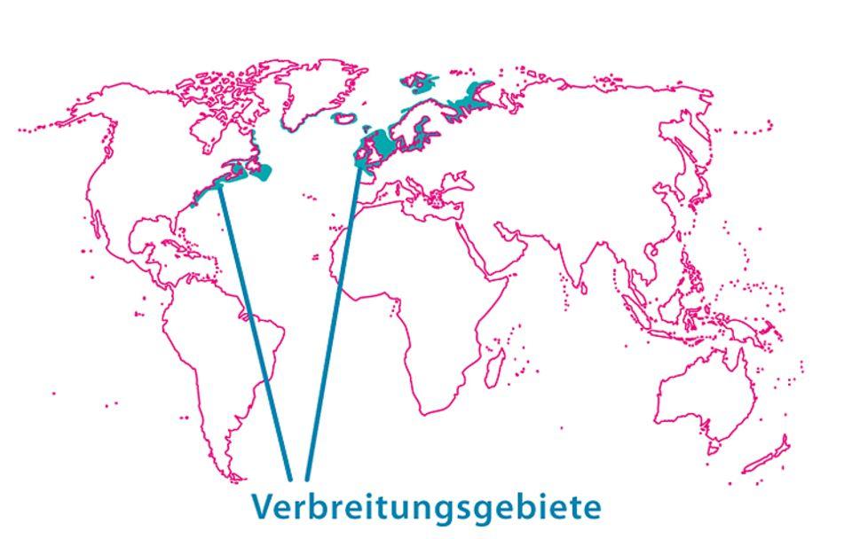 Tierlexikon: Der Atlantische Hering lebt, wie sein Name bereits verrät, im Nordatlantik - von der Ostküste der USA bis in die Ostsee