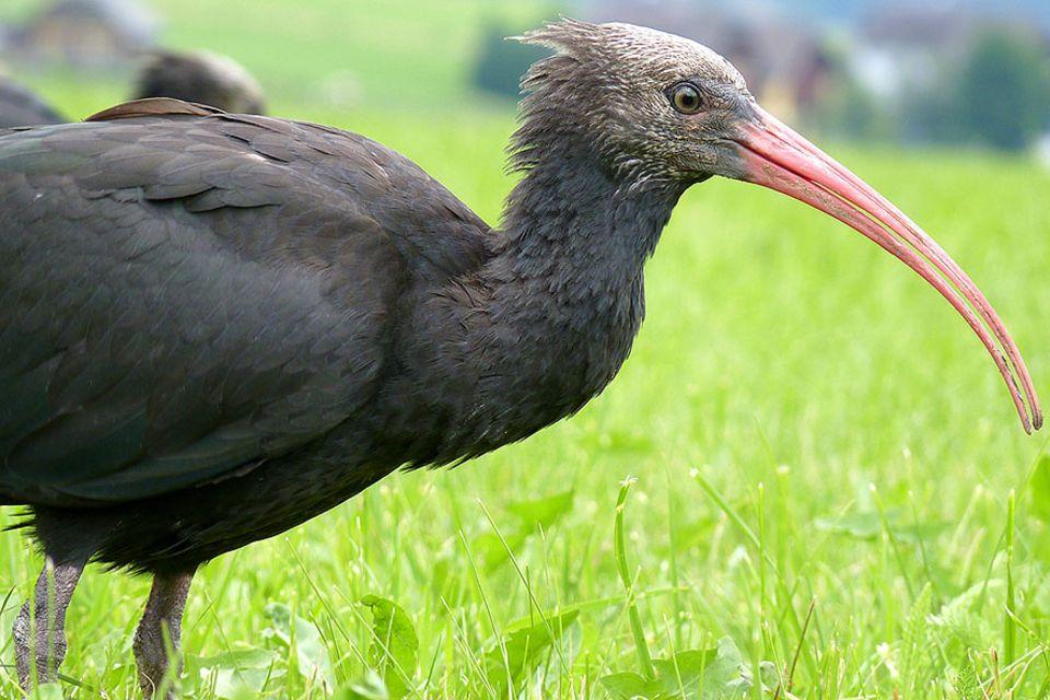 Der Waldrapp galt als vergessen, war seit dem Mittelalter in Deutschland ausgestorben. Nur im Zoo haben einige Exemplare überlebt. Doch die Zugvögel haben den Weg in ihre warmen Winterquartiere vergessen.
