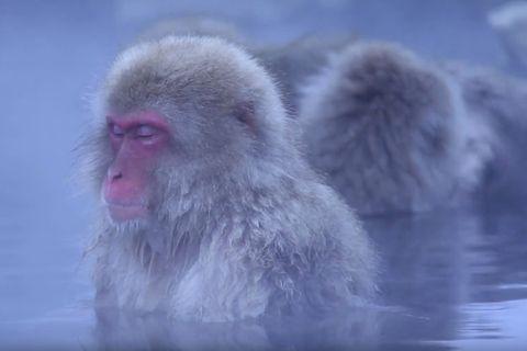 Japanmakaken: Video: So geht Affen-Wellness