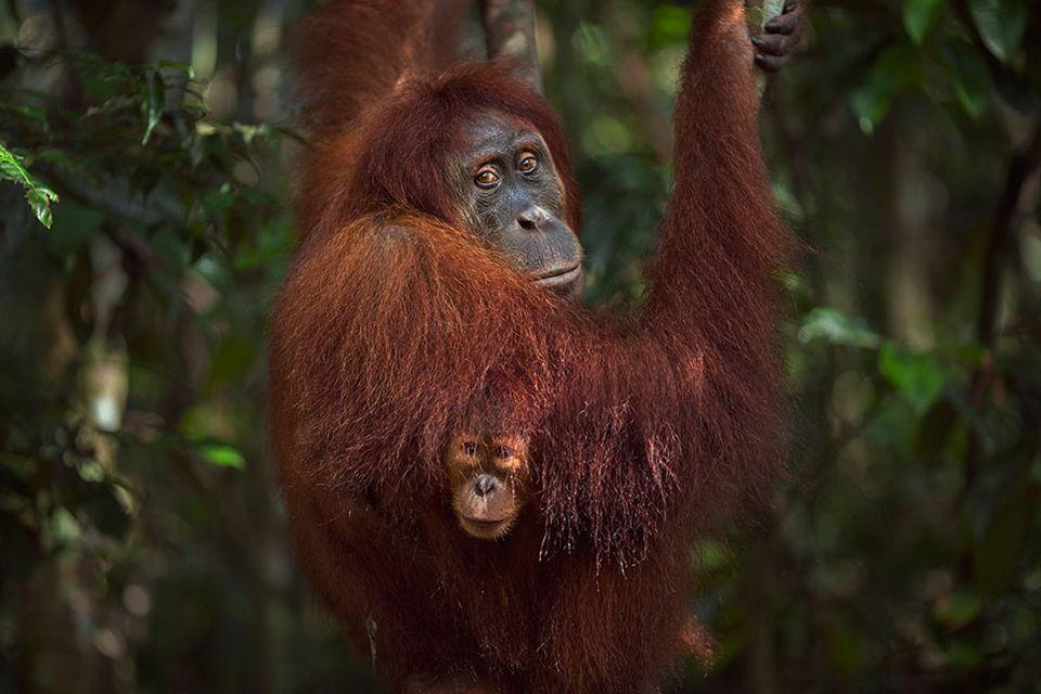 Verhalten: Der Schein trügt: Orang-Utan-Damen heuern gelegentlich Auftragskiller an
