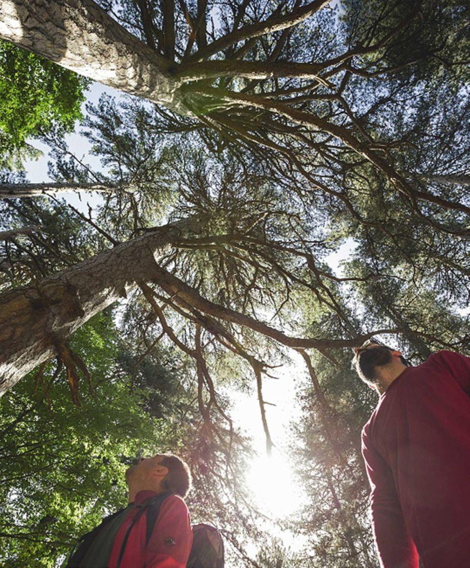 """Süditalien: Staunen im Wald der Riesen: Die 400 Jahre alten """"Giganti della Sila"""", 56 stattliche Schwarzkiefern, wachsen in schwindelerregende Höhen"""