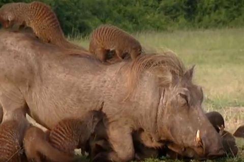 Uganda: Warzenschweine und Mangusten leben in faszinierender Symbiose