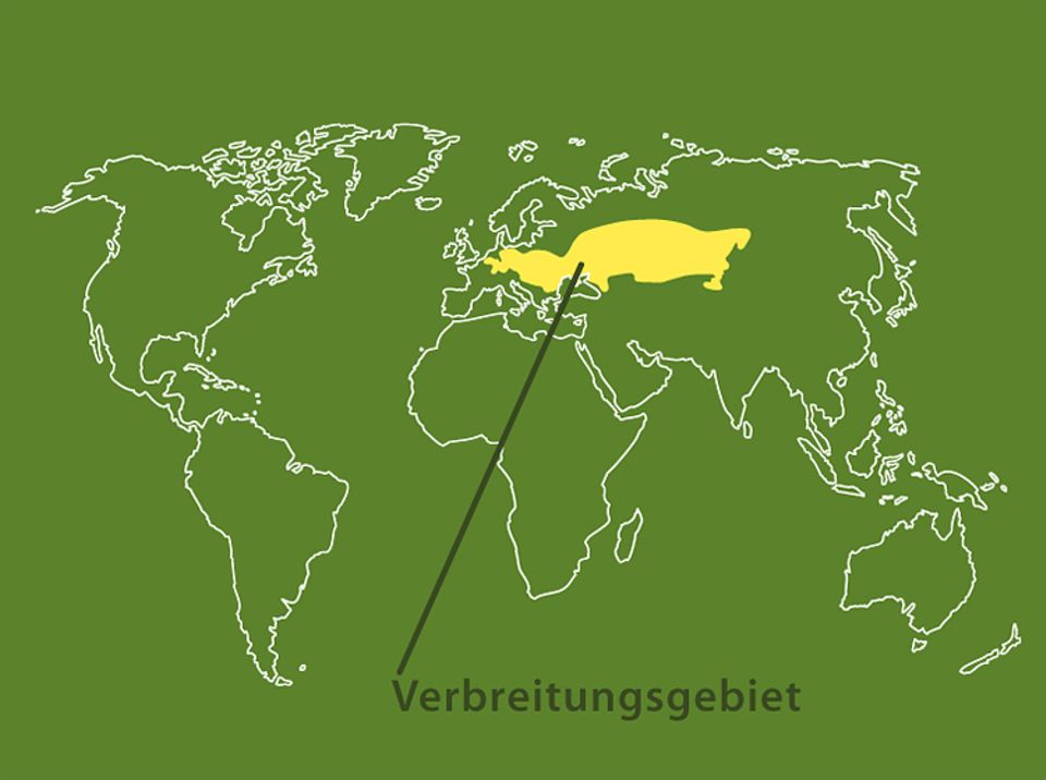 Tierlexikon: Feldhamster leben in Europa und im Westasien