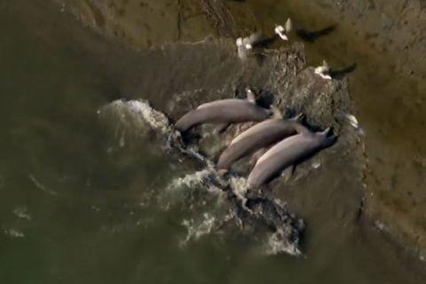 Georgia, USA: Delfine, die am Strand fischen