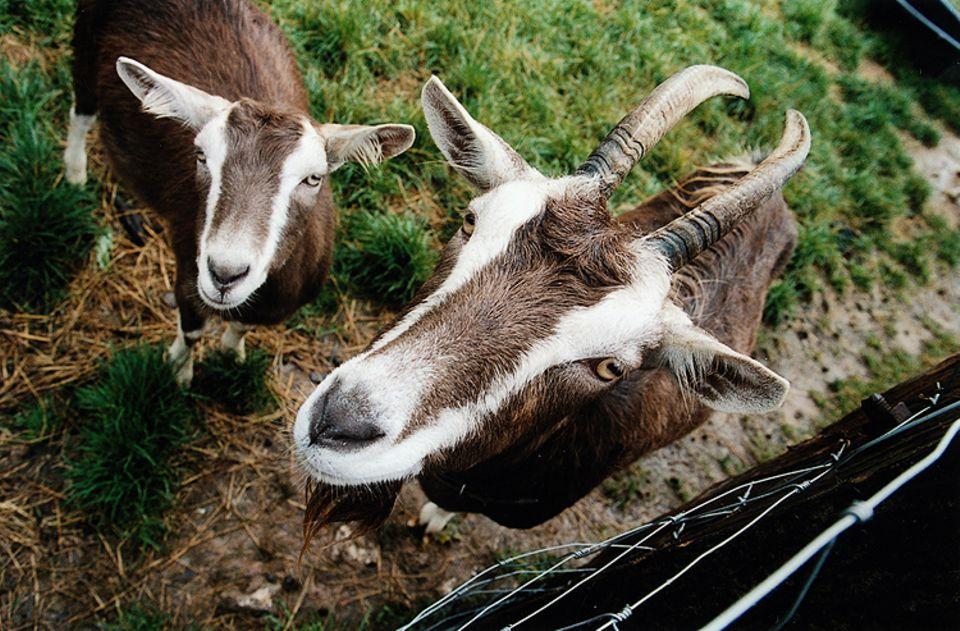 GEO Tag der Artenvielfalt: Ziegen auf dem Gut Herbigshagen