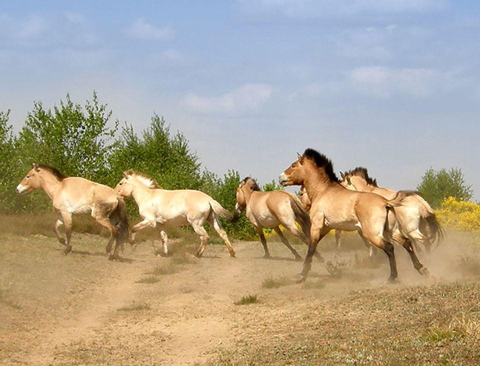 GEO Tag der Artenvielfalt: Przewalski Pferde in der Döberitzer Heide