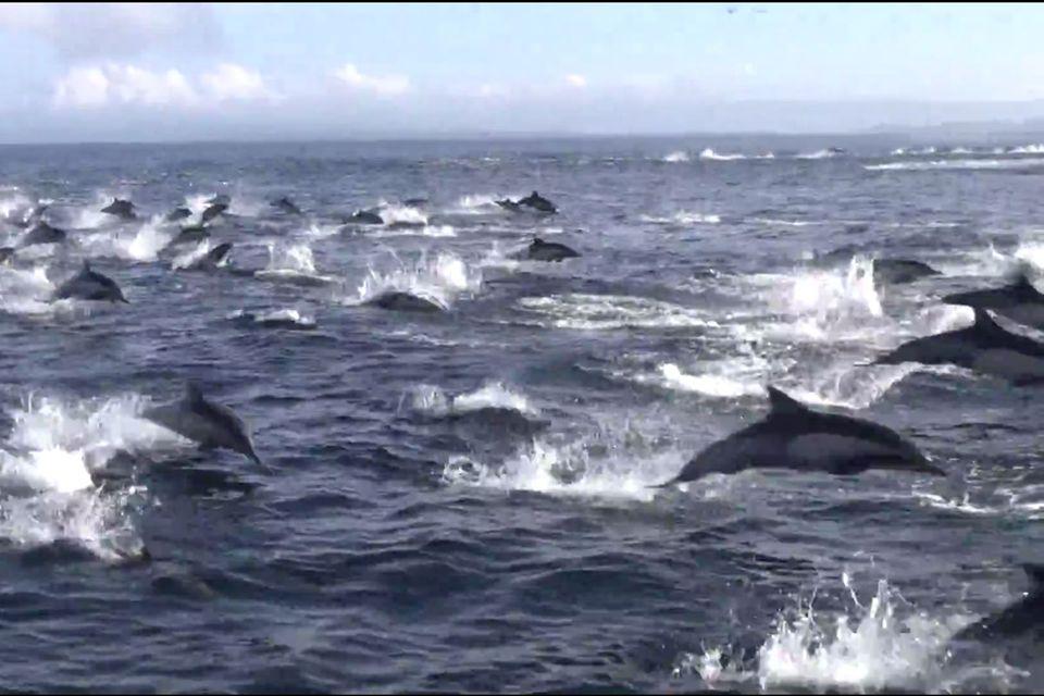 Kalifornien: Hunderte Delfine fliehen vor Orca-Walen