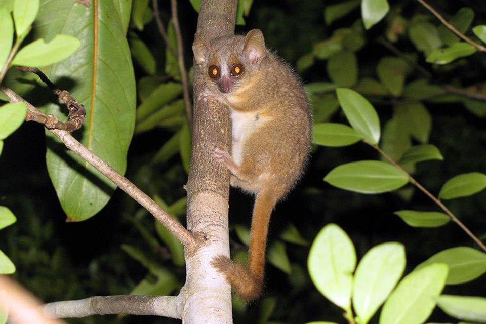 Madagaskar: Die neue Affenart Microcebus ganzhorni auf Madagaskar. Sie ist ist zu Ehren des Hamburger Ökologen Jörg Ganzhorn benannt, der sich seit Jahrzehnten für die Tiere einsetzt.