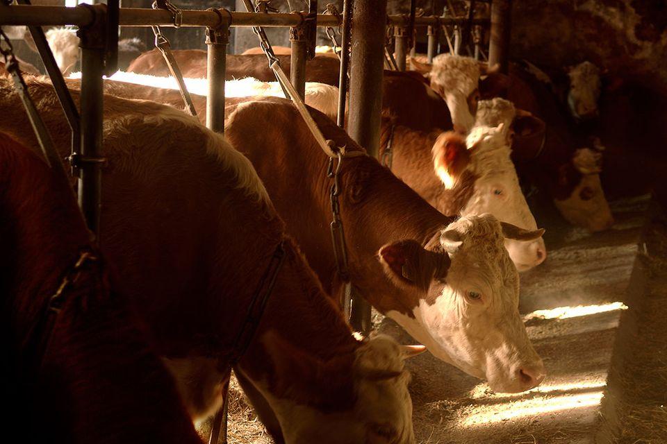 Tierschutz: Bundesrat will Anbindehaltung von Rindern verbieten