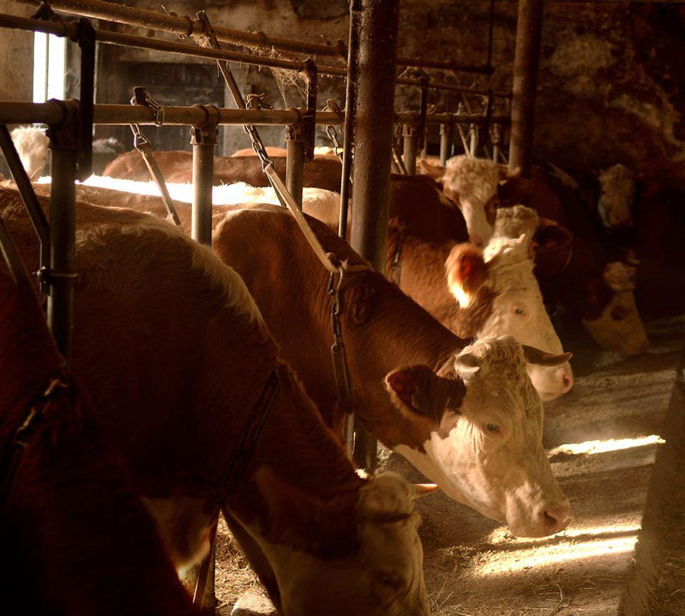 Tierschutz: Die Anbindehaltung schränkt die Kuh stark ein: sie kann sich nicht bewegen, schwer aufstehen und sich hinlegen. Sie kann weder ihre Umgebung erkunden noch sich in Gruppen zusammenschließen. Tiere mit Auslauf sind weniger krank, fruchtbarer und leiden weniger an Euterentzündungen oder Zitzenverletzungen
