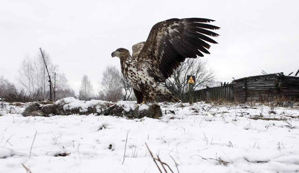 GAU vor 35 Jahren: Die Adler kommen zurück - wie dieser Seeadler, der auf einem Wolfskadaver in der Sperrzone um den havarierten Tschernobyl-Reaktor landet.