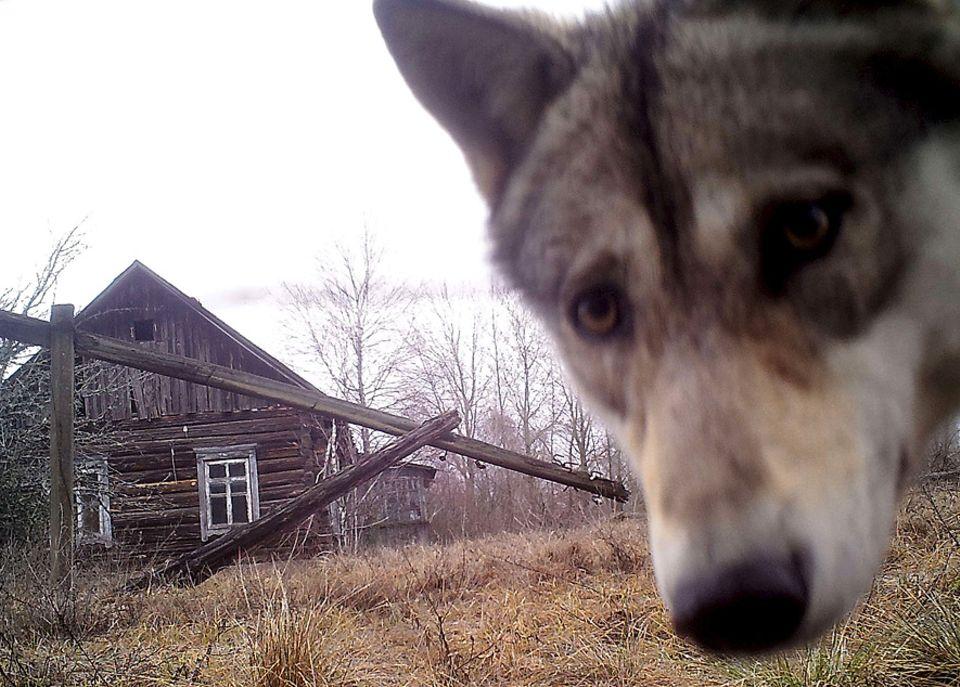 GAU vor 35 Jahren: Ein Wolf guckt in die Kamera in der Nähe des verlassenen Ortes Orevichi in Weißrussland in der Sperrzone rund um den Reaktor.