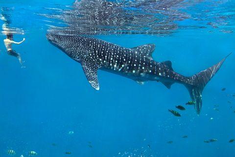 Philippinen: Unterwasserabenteuer mit Walhaien